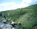scottish cows in the lakes district