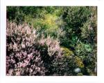 heather in scotland by slbradley